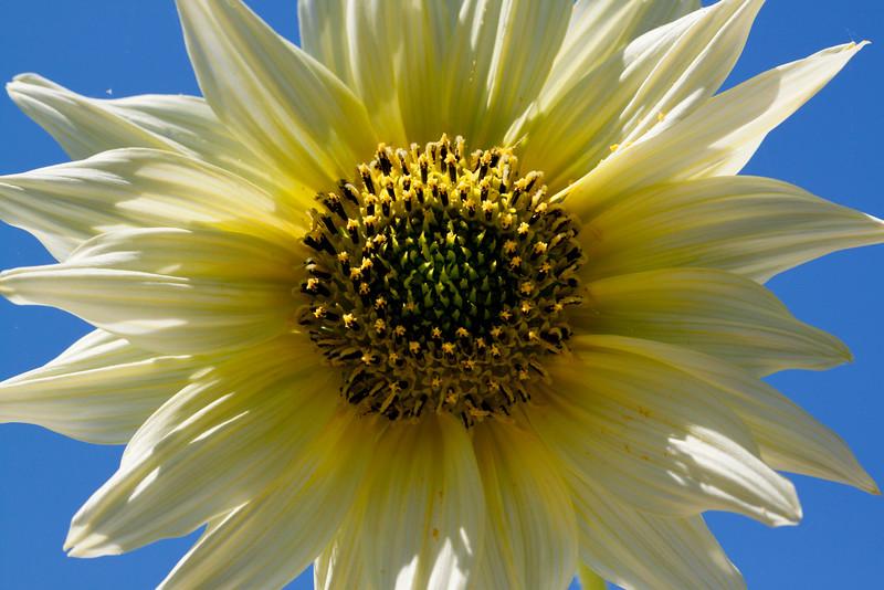 yellow sunflower blue sky