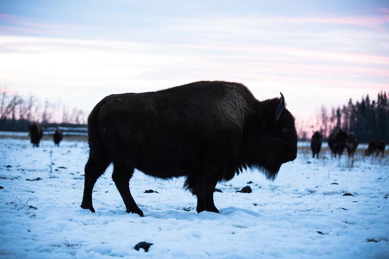 AHP171212_buffalo1360.jpg