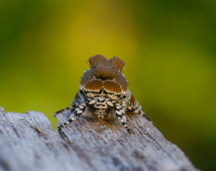 Harrisimemna trisignata Harris's Three-Spot moth 93-1498 9286 Family Noctuidae Skogstjarna Carlton County MN  IMG_0308.jpg