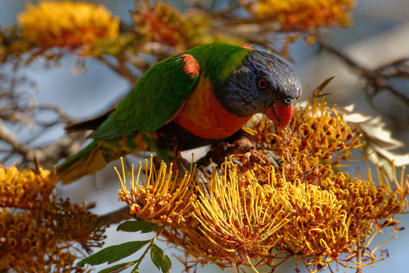 Rainbow Lorikeets (Trichoglossus haematodus) are one of the most prolific and obvious birds in the garden, both visually and aurally. They are renowned for getting drunk on the nectar and hanging upside down and falling out of the trees.
