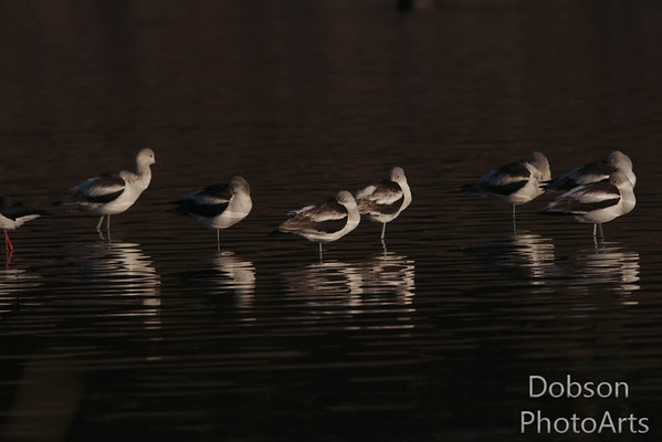 Avocets and Black-necked Stilts