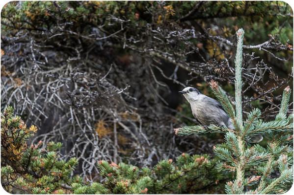 Birds of Canada
