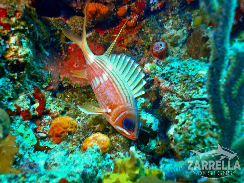 """""""Squirrelfish Macro"""" (Fishbowl Reef, St. Maarten)"""