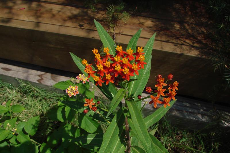 Asclepias curassavica / Tropical Milkweed (tender perennial, Texas native) 8/28/07