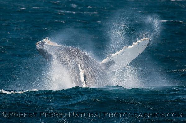 Humpback Whales - Breaching