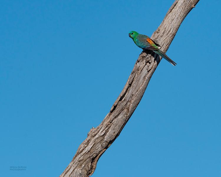 Red-rumped Parrot, Lake Cargelligo, NSW, Aus, Oct 2018-1.jpg