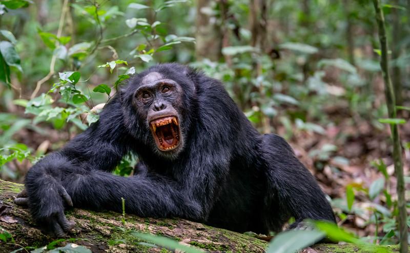 Uganda_T_Chimps-349.jpg