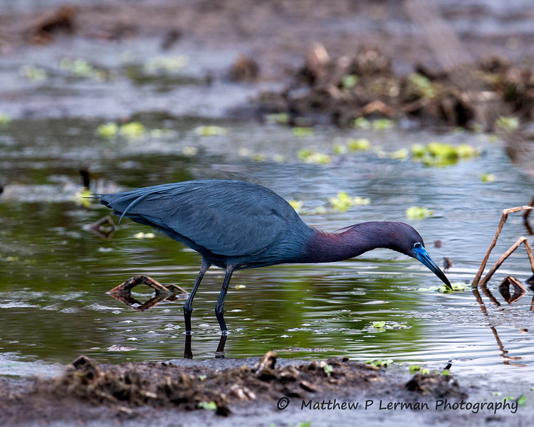 Little blue heron_6442.jpg