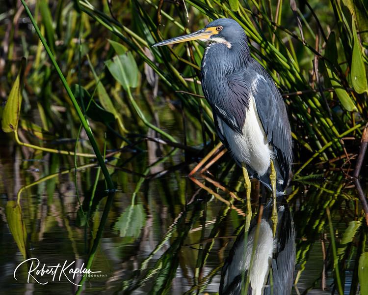 Tricolored Heron-8291.jpg