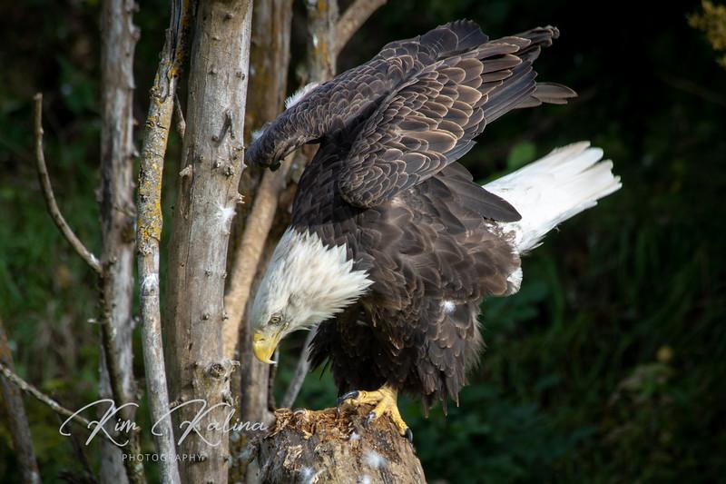 Bald Eagle-05258.JPG