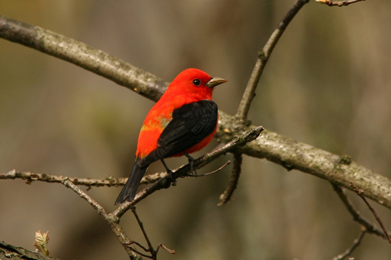 Scarlet Tanager - Pennsylvania