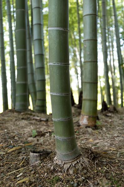 Bamboo grove at Kodaiji (Kodai-ji) temple garden, Kyoto, Japan