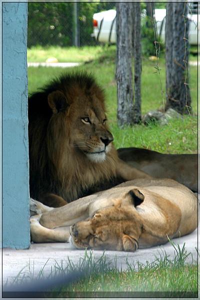 132_PalmBeach_LionCountry_July2005.jpg