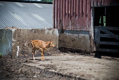 This little calf was having fun exploring the entrance to the hay barn.