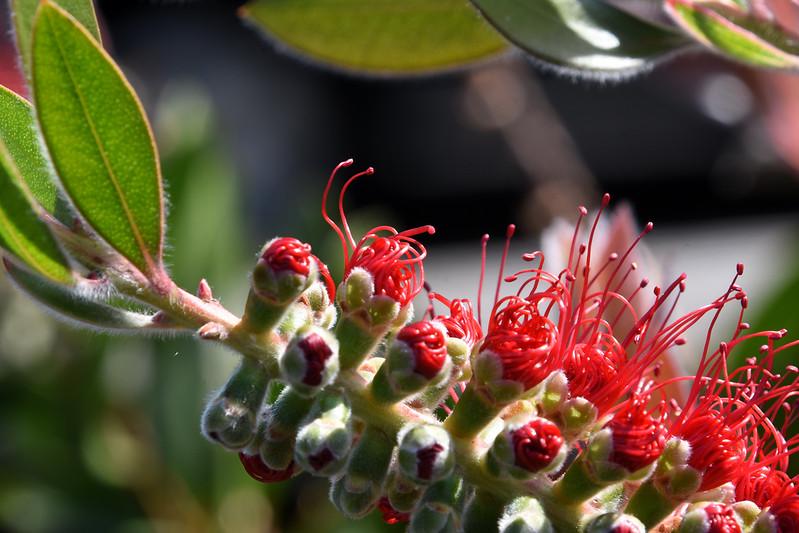 Bottlebrush-flower-buds-opening.jpg