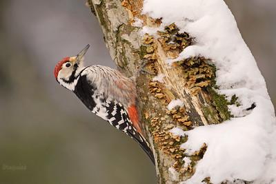 Dzięcioły / Woodpeckers