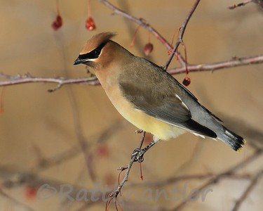 Waxwings, Juncos, Pipits, Starlings, Longspurs, and Larks