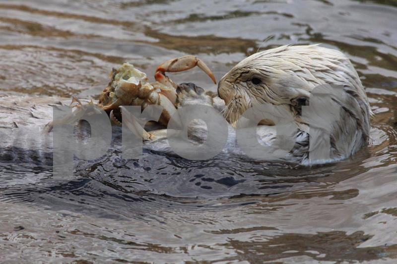 Sea otter 2913.jpg