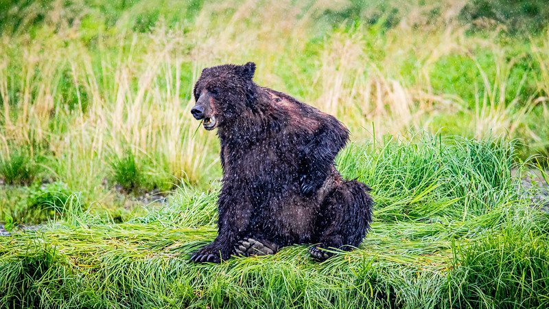Brown Bear on the Bank 2.jpg
