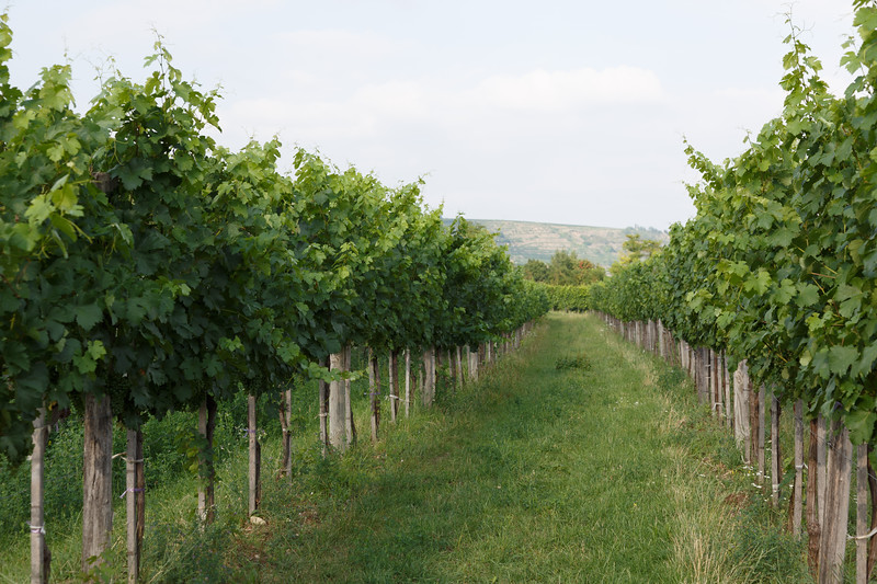 A close-up view of the vines