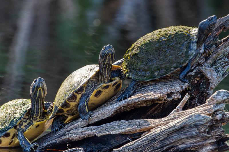 Turtles So. FL 2020-1.jpg