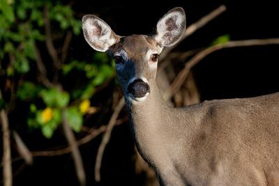 Deer WV