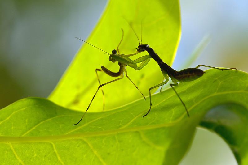 Mantis-kill-another-Mantis-03.jpg