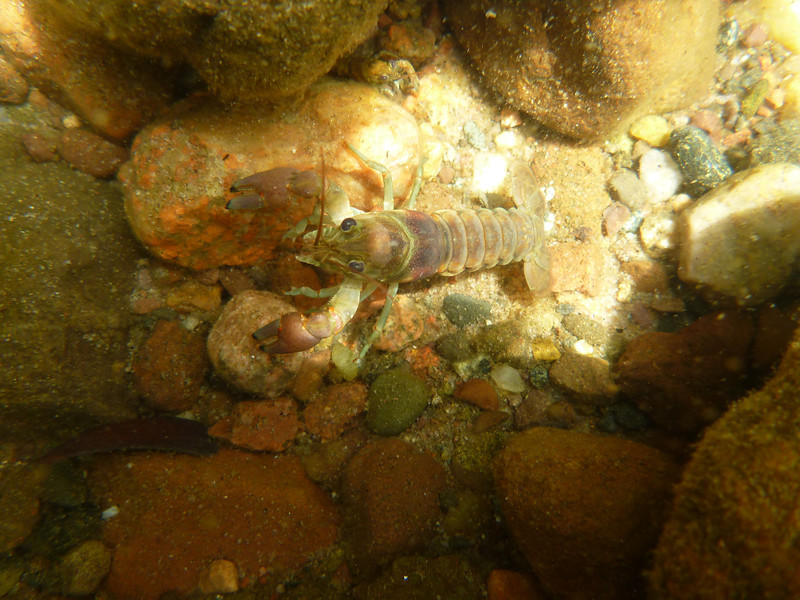 """The """"deforestation"""" of Sparkling Lake was a result of an invasion by the rusty crayfish, a non-native species that clips aquatic plants right at the roots to improve its field of vision as it hides from predators amid the cobble."""