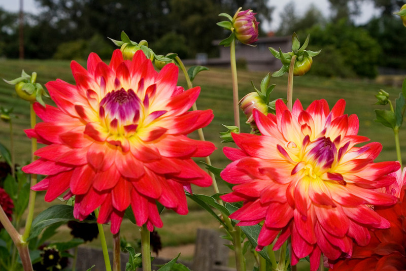 Multi Colored Dahlia.jpg