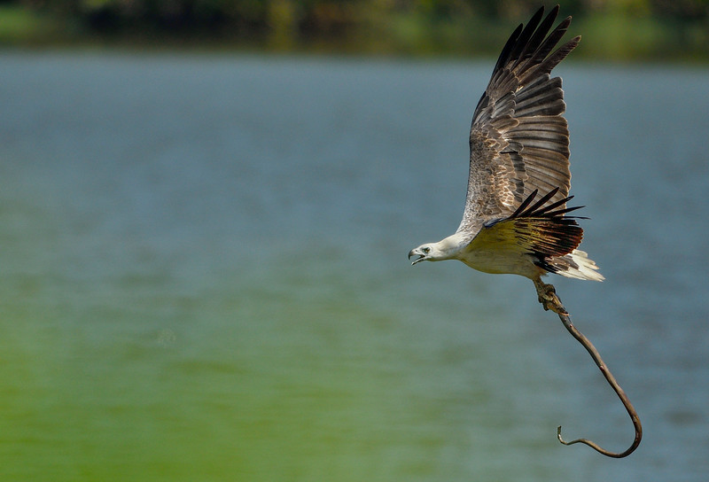 White-belied-sea-eagle-with-eel-catch-andaman.jpg