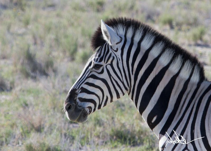 ZebraS-2.jpg
