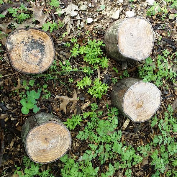 Sweet Woodruff under oak by drive