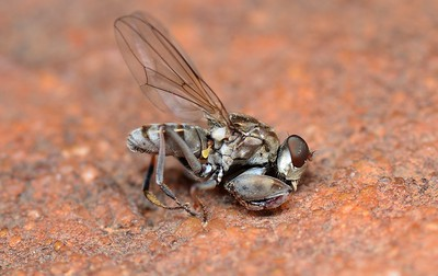 Shore Flies  -  Ephydridae