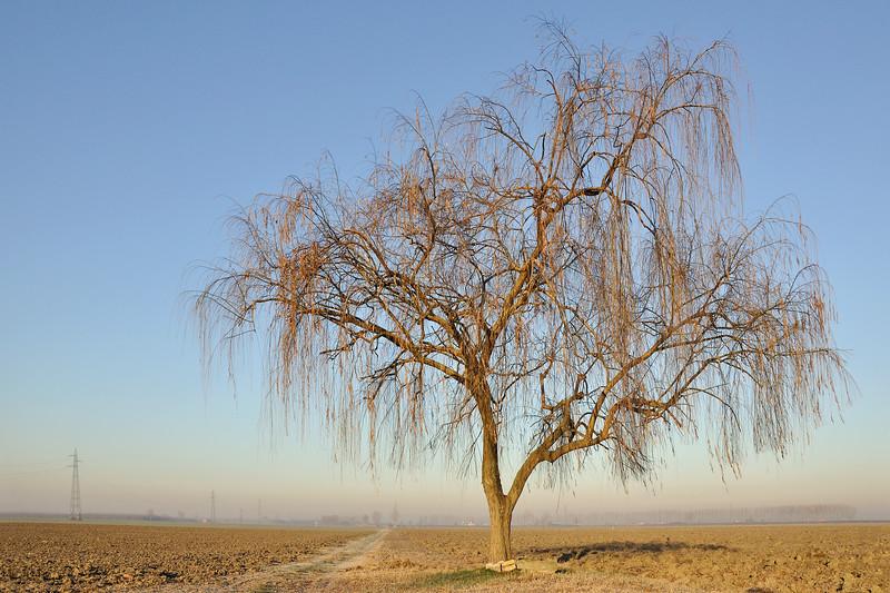 Weeping Willow - Sant'Agata Bolognese, Bologna, Italy - December 22, 2011