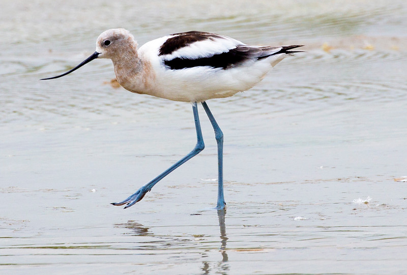 Another female (or juvenile) Avocet.