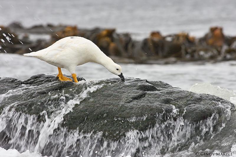 Kelp_Goose_1.jpg