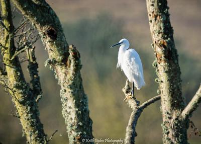 Birds Around Burton Bradstock