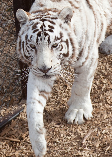8124 White Tiger Close Up.JPG