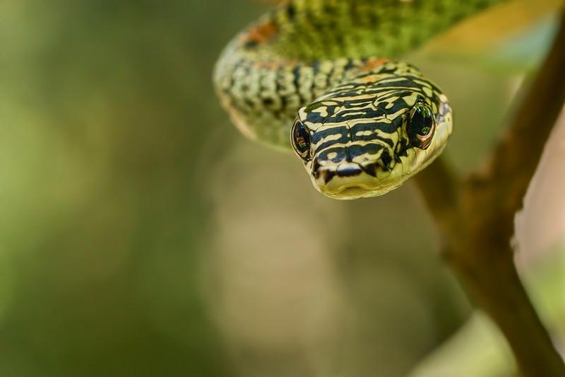 Ornate-flying-snake-3.jpg
