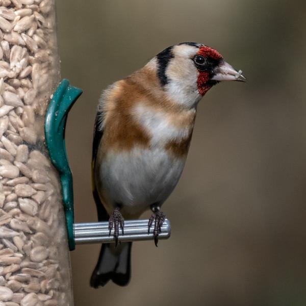 Goldfinch - Carduelis carduelis-5.jpg