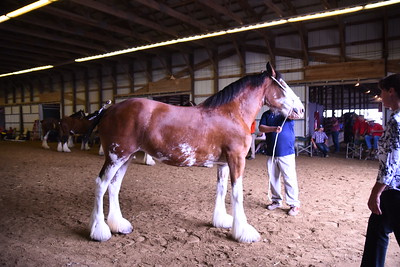 Clydesdale Brood Mare 4+
