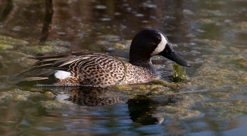 Blue wing Teal.jpg