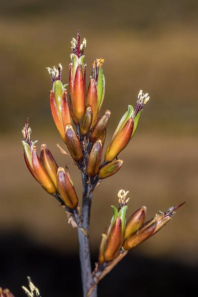 Mountain flax - Phormium cookianum