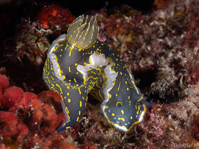 Felimare picta picta nudibranch