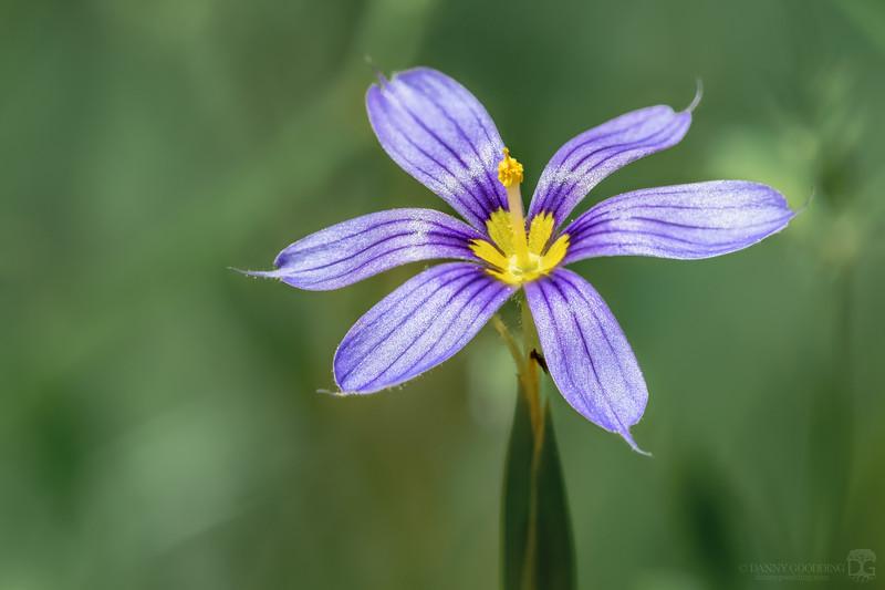 Narrow-leafed blue-eyed grass flower