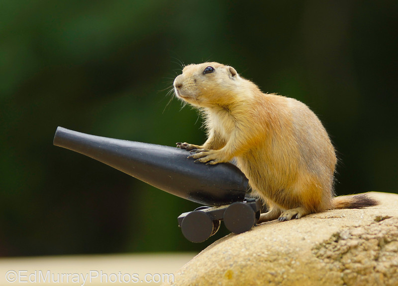 Defender of the Hill:  A prairie dog armed with a cannon...not something you see everyday. TGIF! Thank you all for your comments on yesterday's peacock shot and for your empathy and in a couple of cases, remedies for migraines. I truly appreciate it. Have a great weekend and I'll see you on Monday!  7/19/2013
