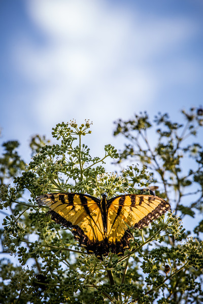 Swallowtail #3
