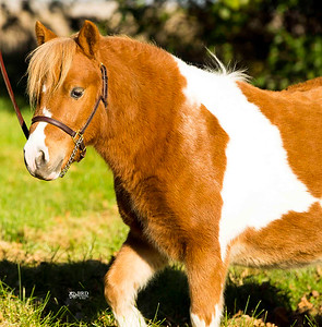 Renee Stouffer Mini Horse Pics