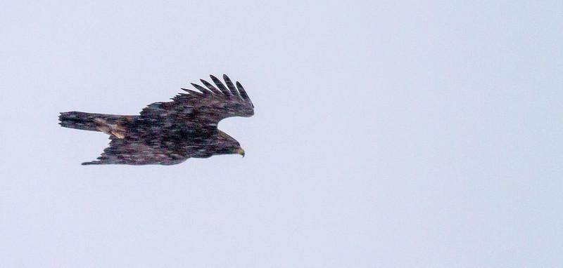 Golden Eagle Theodore Roosevelt National Park Medora ND -2103.jpg