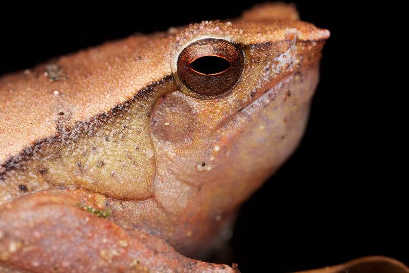 Frog (Kalophrynus sp.).jpg